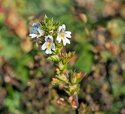 Eyebright Euphrasia nemorosa 2000 seeds