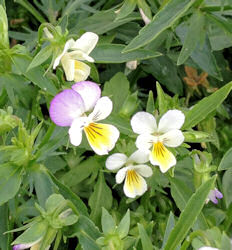 Pansy Wild or Heartsease 1 gram