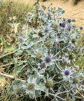 Sea Holly Eryngium martinum 15 seeds