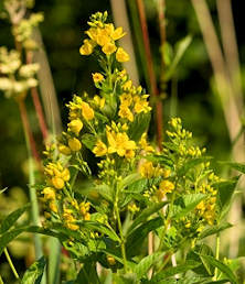 Seeds yellow loosestrife yellow loosestrife 300 seeds mightylinksfo