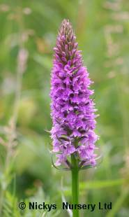 Orchid Common Spotted Orchid Dactylorhiza fuchsii 2000 seeds