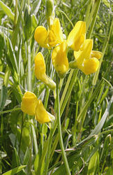 Meadow Vetchling 30 seeds