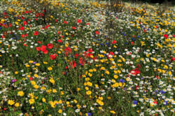 Educational Mixture 100% wildflower mix