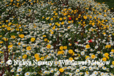 Corn Field Annuals 20 80% wildflower mix