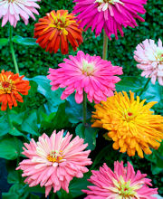 Zinnia. Giant Cactus Flowered Mix 100 seeds