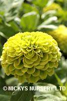 Zinnia. Envy 160 seeds
