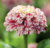 Zinnia. Pop Art White and Red 50 seeds