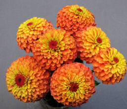 Zinnia. Queen Lime Orange 30 seeds