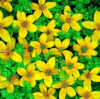 Bidens. Sunshine 40 seeds