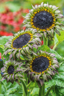 Helianthus. Sunflower Sun-Fill Purple 10 seeds