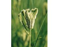 Grasses Ornamental