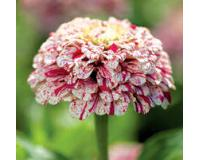 Flower seeds from abutilon to zinnia all your favourite rare and unusual flowers annual and perennials for hanging baskets borders cottage gardens containers patio planters and mightylinksfo